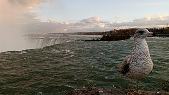 A Bird at Niagara.jpg