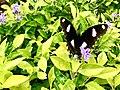A Black Butterfly on Flora at Kailasagiri.jpg