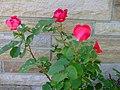 A Flock of Roses (3813376572).jpg