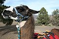 A Llama Named Mike (2156472548).jpg