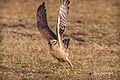 A Montagu's Harrier - moment of take off (49481341223).jpg