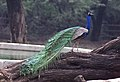 A Peacock enjoying the Monsoon rains at National Zoological Park in New Delhi on July 7, 2005.jpg
