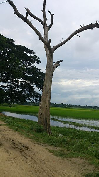 File:A Tree standing in a side of a road.jpg