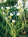 A and B Larsen orchids - Angraecum eburneum longicalcar 829-15x.jpg