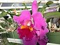 A and B Larsen orchids - Brassolaeliocattleya Lucky Strike Golden Ring DSCN4510.JPG