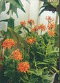 A and B Larsen orchids - Epidendrum Ballerina Fireball 866-23.jpg
