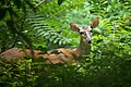 A deer in the woods, Jefferson, Kentucky, U.S.jpg
