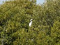 A great egret in Taijiang National Park+HuKi001+002.jpg