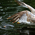 A gull feeding at a pond in St. Stephen's green.jpg