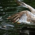 A gull feeding at a pond in St. Stephen's green.jpg