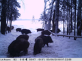 A herd of wild boars in the woods for a walk.png