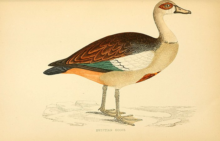 A history of British birds (6009029118).jpg