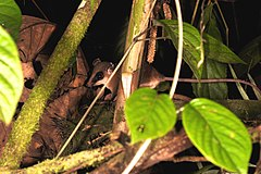 240px a mouse opossum (15608312715)