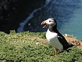 A puffin calls on the Wick on Skomer - geograph.org.uk - 1328606.jpg