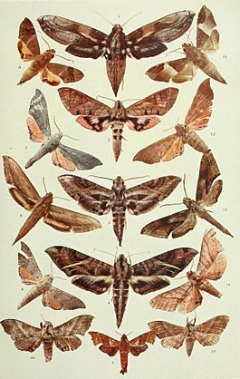 A revision of the lepidopterous family Sphingidae, Volume IX, Plate II.JPG