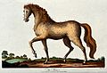 A stallion with a red mane is standing with its left front h Wellcome V0020940.jpg