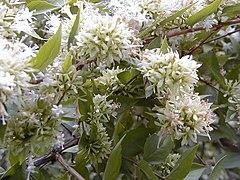 Abelia chinensis RJB1.jpg