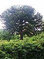Abetræ på Christiansø 2.jpg