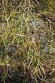 Acacia estrophiolata foliage.jpg