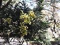 Acacia mearnsii-1-sanyasi mallai-yercaud-salem-India.JPG
