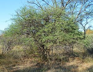 Senegalia mellifera - Image: Acacia mellifera, habitus, Steenbokpan, a
