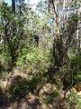 Acacia obtusifolia 2.jpg