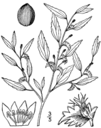 Acalypha gracilens drawing.png
