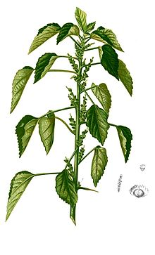 Acalypha indica Blanco2.266-cropped.jpg