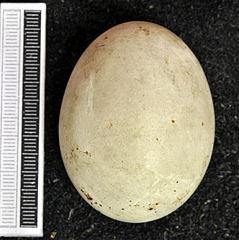 Jastrab lesný - vajíčko