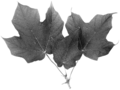 Acer nigrum leaves.png