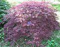 Acer palmatum 'Ornatum' 01 by Line1.jpg