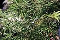 Acer palmatum Scolopendrifolium 1zz.jpg