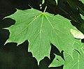 Acer platanoides (Norway maple) 4 (45416140045).jpg