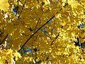 Acer platanoides 7127.jpg