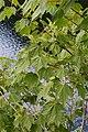 Acer ukurunduense (Sapindaceae) (35795050800).jpg