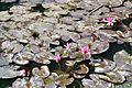 Acharya Jagadish Chandra Bose Indian Botanic Garden - Howrah 2011-01-08 9743.JPG