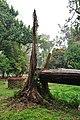 Acharya Jagadish Chandra Bose Indian Botanic Garden - Howrah 2011-02-20 1594.JPG