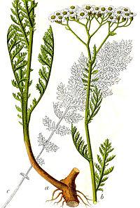 Achillea nobilis Sturm40
