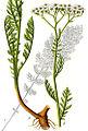 Achillea nobilis Sturm40.jpg