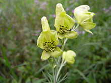Aconitum anthora02.jpg