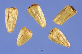 Acorus calamus seeds.jpg