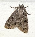 Acronicta maxima - Doi Inthanon - North Thailand (5923425442).jpg
