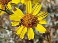 Acton's brittlebrush (Encelia actoni); Coxcomb Mountains - 12525833843.jpg