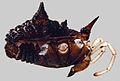 Acuclavella leonardi male - ZooKeys-311-019-g005-top.jpeg