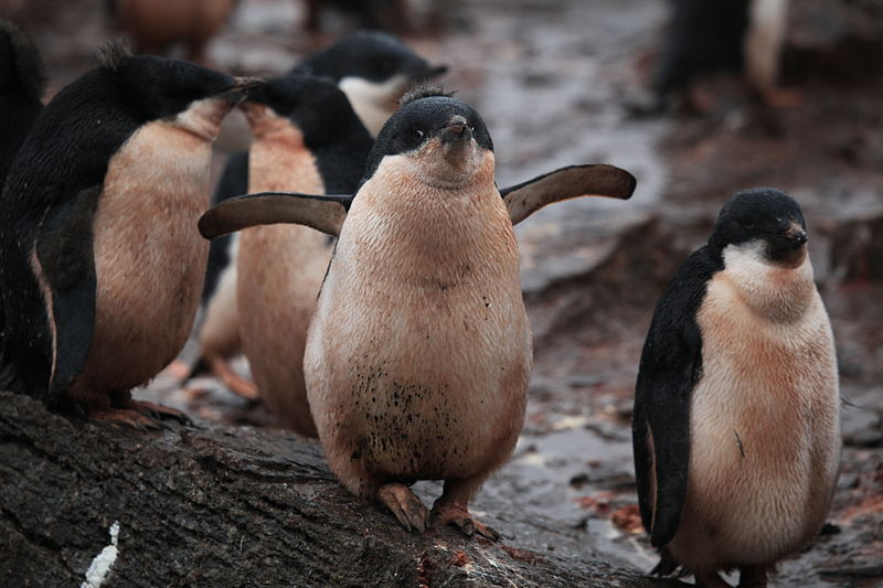 File:Adélie Penguin chicks (5917141587).jpg