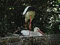 Adjusting the nest (540190665).jpg