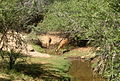 Aepyceros melampus melampus drinking in Tsavo West National Park (edited).jpg