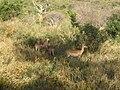 Aepyceros melampus melampus group in Tsavo West National Park 2.jpg