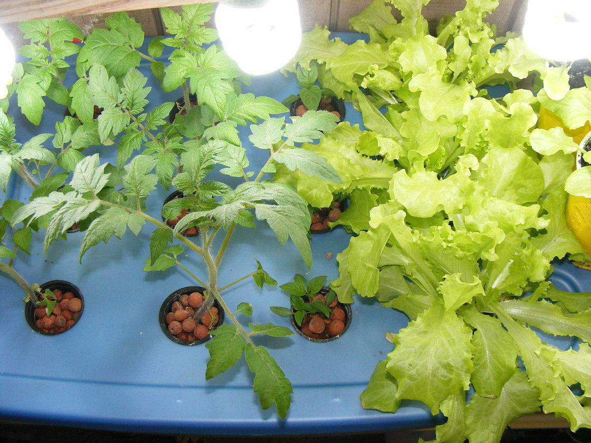 how to grow aeroponic lettuce