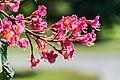 Aesculus × carnea in Christchurch Botanic Gardens 02.jpg